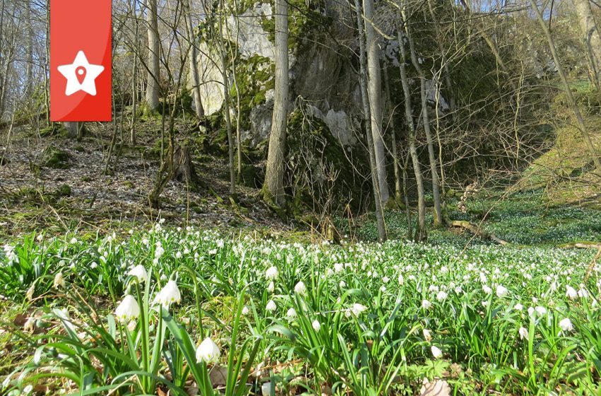 Märzenbecher im Eselsburger Tal