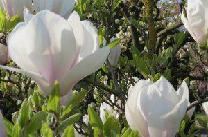 Deutschland - Magnolienblüte in der Wilhelma