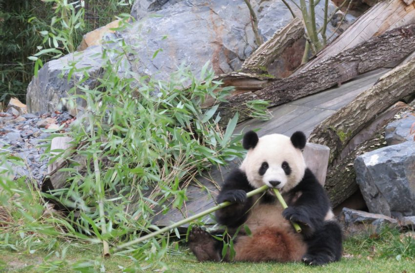 Berliner Zoo – Zuhause für 4 Pandas